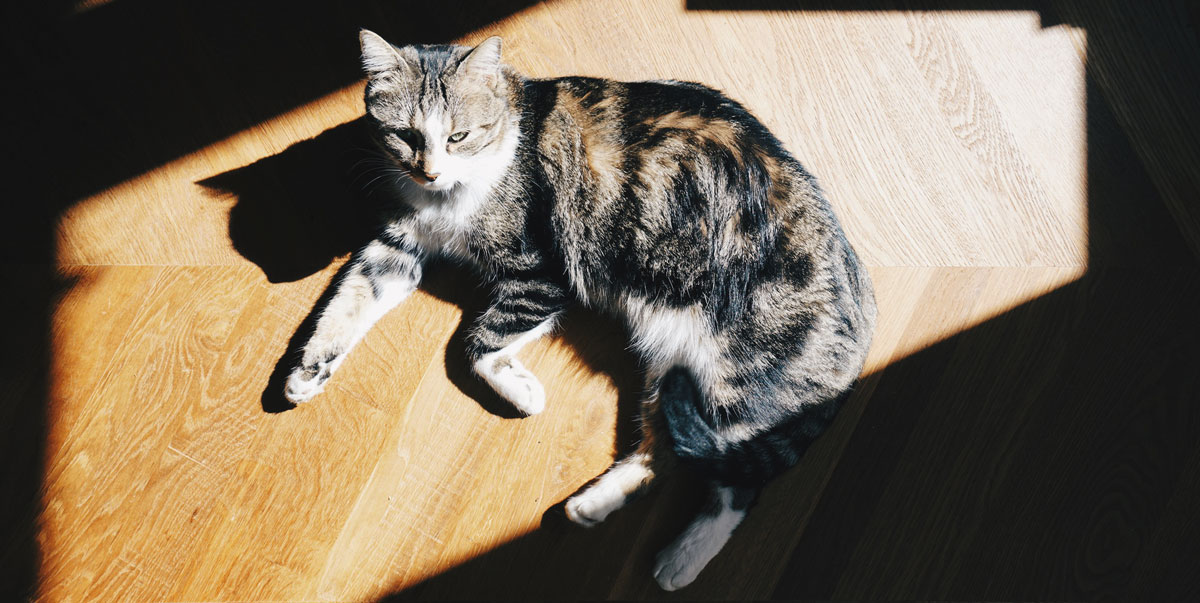 sherlock le chat
